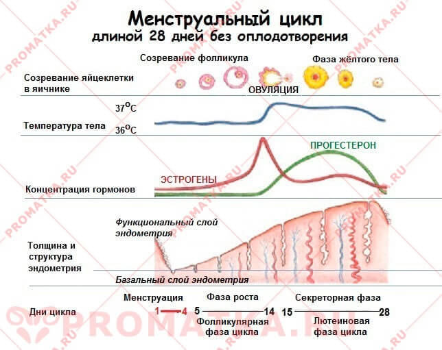 Менструальный цикл