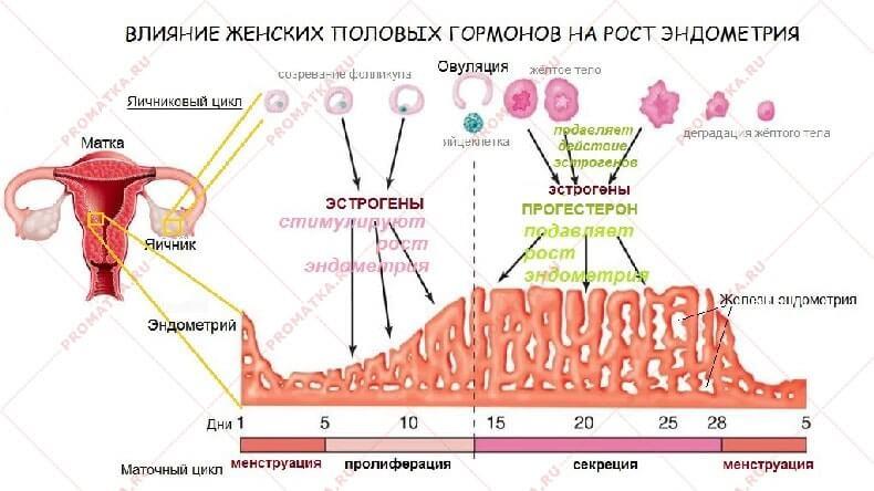 Влияние женских половых гормонов на эндометрий