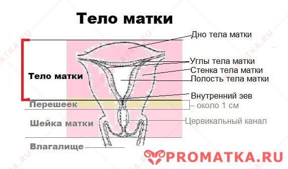 Части тела матки