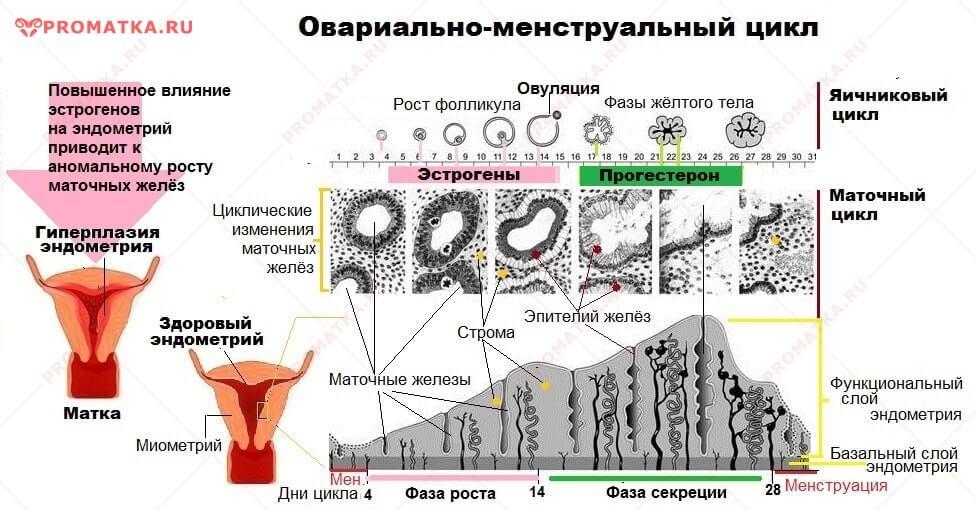 Менструальный цикл и железы эндометрия