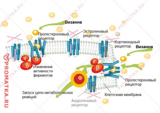 Рецепторная специфичность Визанны -схема
