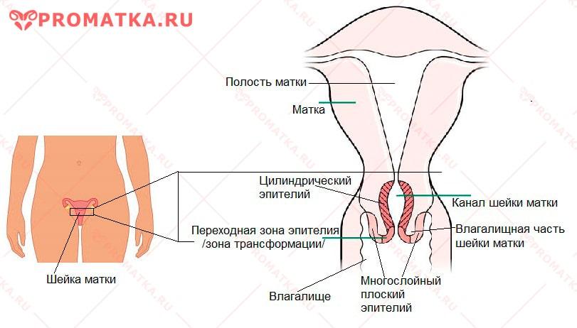 Эпителий шейки матки - схема
